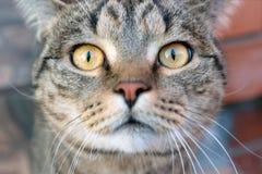 trakenu brytyjski kota zako?czenia oko przygl?da si? fotografia z w?osami skr?t z w?osami zdjęcie stock