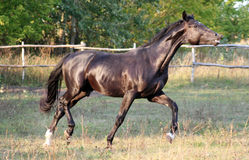 trakenu konia ukrainian Obraz Royalty Free