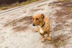 Trakenu krótkonogi psi czekanie dla mistrza na ziemskiej drodze zdjęcia stock