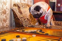 trakenu mały psi Zdjęcia Royalty Free