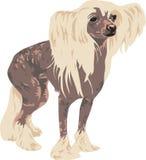 trakenu pies chiński czubaty Fotografia Stock