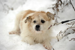 Trakenu podołka pies fotografia stock