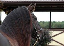 5 trakenu szkicu konia starych perszeronu rok Zdjęcie Stock