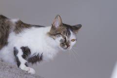 Trakinas katt Fotografering för Bildbyråer
