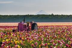 Traktor in der bunten Tulpe archivierte in Woodburn, Oregon lizenzfreie stockfotografie