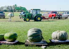 Traktor, der Riesenkürbisse und Kürbisse bewegt und wiegt Stockfotografie