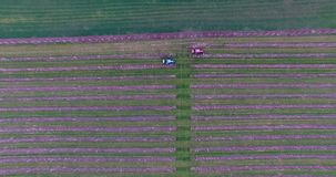 Traktor genom att använda en sprejare för luftdammmaskin med en kemiskt insekticid, svavel eller svampdödande medel i vingården a arkivfilmer
