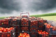 Traktor lud mit den Kisten auf, die durch rote Tomaten gefüllt wurden Stockbilder