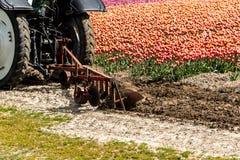 Traktor som harvar tulpanfältet Arkivfoto