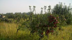 Traktor som skördar äpplen i en fruktträdgård lager videofilmer