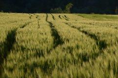 Traktoren fodrar i vetefält Royaltyfri Bild