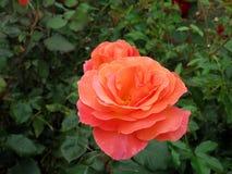 Tralee, Irlanda Rose Garden Imagens de Stock