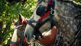 Tram Horses In The Park In Evening Sun stock video footage