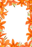 Trame de Lilly orange Photos stock