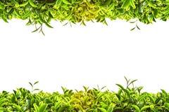 Trame de thé vert Photo libre de droits