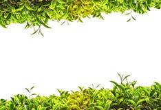 Trame de thé vert Photos libres de droits