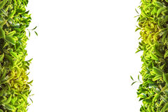 Trame de thé vert Images stock