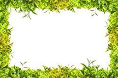 Trame de thé vert Images libres de droits