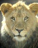 Trame juvénile mâle de lion africain pleine, Afrique Photos stock