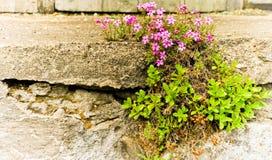 Trame pourprée de fleurs Image libre de droits