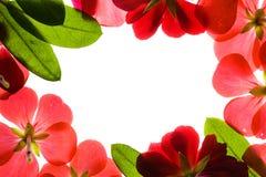 Trame rouge de fleur au-dessus de blanc Photo stock