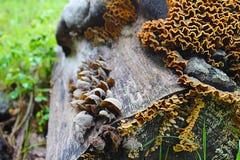 Trametes杂色蘑菇共同的火鸡尾巴,宏观摄影,医学蘑菇,可食,医疗 库存照片