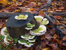 Trametes gibbosa  fungi, also known as 'lumpy bracket' Royalty Free Stock Photography