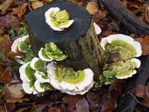 Trametes gibbosa  fungi, also known as 'lumpy bracket' Royalty Free Stock Photos