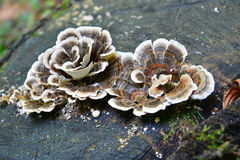 Trametes versicolor Stock Photography