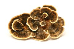 Free Trametes Versicolor Mushroom Royalty Free Stock Images - 124921289