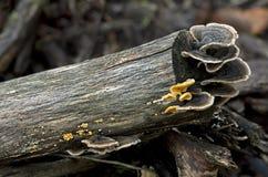 Trametes versicolor mushrooms Stock Images