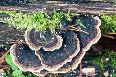 Trametes versicolor. A sponge fungi - trametes versicolor Stock Images