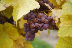 Traminer wine grape in autumn. Horizontal close up of a bunch of traminer grape in a vineyard with vine leaves in the foreground Royalty Free Stock Photography