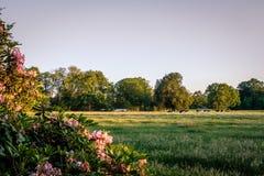 Tramonto ad un paesaggio olandese tipico Twente, Overijssel dell'azienda agricola di estate Fotografia Stock