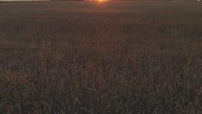 Tramonto aereo del colpo di rivelazione il metraggio del giacimento di grano che mostra i raccolti di grano dorati mobili lentame stock footage