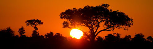 Tramonto africano con l'ombrellifera. Siluetta fotografia stock