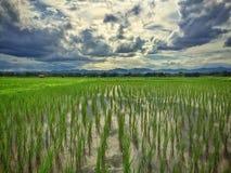 Tramonto alla risaia Immagini Stock