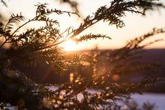 Tramonto attraverso gli aghi del pino Fotografia Stock Libera da Diritti