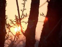 Tramonto attraverso gli alberi Immagini Stock Libere da Diritti