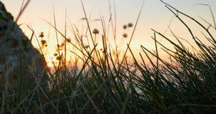 Tramonto attraverso l'erba costiera Erba che ondeggia in vento Vento che soffia nelle piante asciutte video d archivio