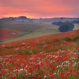 Tramonto attraverso un poppyfield del Dorset immagini stock