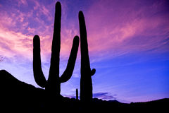 Tramonto del cactus del saguaro Immagini Stock