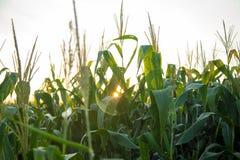 Tramonto del campo della piantagione del cereale Fotografia Stock Libera da Diritti