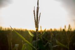 Tramonto del campo della piantagione del cereale Immagine Stock