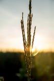 Tramonto del campo della piantagione del cereale Immagine Stock Libera da Diritti