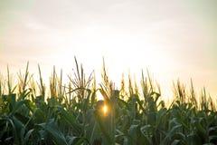 Tramonto del campo della piantagione del cereale Immagini Stock Libere da Diritti