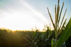 Tramonto del campo della piantagione del cereale Fotografie Stock Libere da Diritti