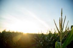Tramonto del campo della piantagione del cereale Fotografia Stock