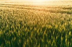 tramonto del campo di cereale Immagine Stock Libera da Diritti