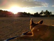 Tramonto del cane Fotografie Stock